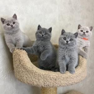 Британские голубые и лиловые котята 14.01.2020
