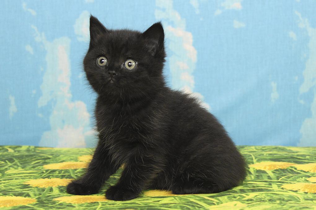 Картинки британских черных котят