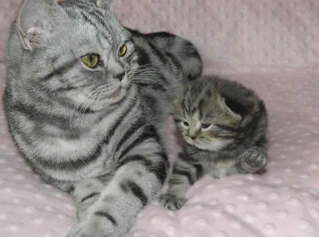 Кошки в Москве продажа с фото цены  купить котёнка ИЗ