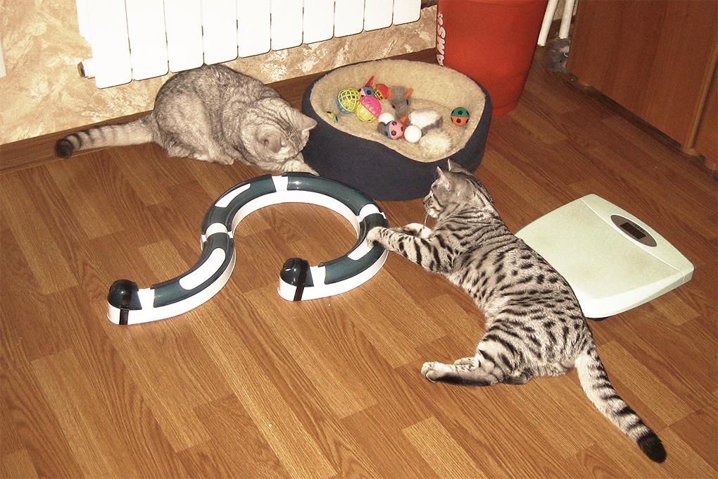 как знакомить двух кошак