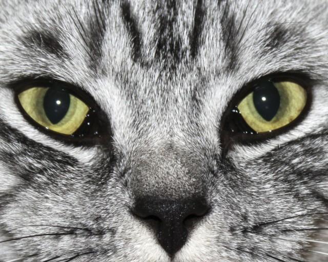 Красное веко глаза у кота