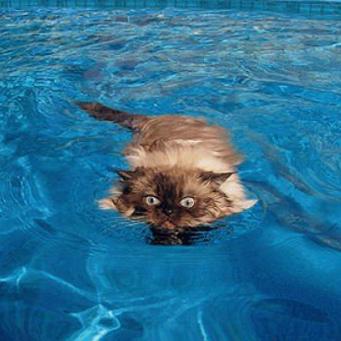 умеют ли кошки плавать?