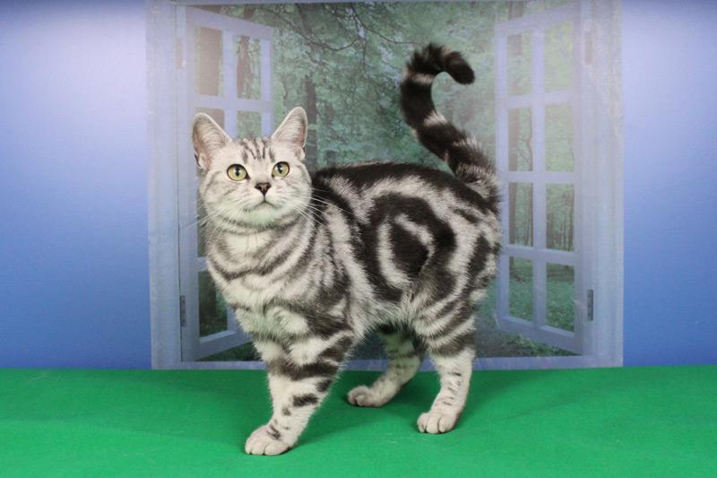 британская кошка Астра