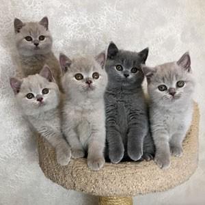 Британские лиловые и голубые котята 17.01.2019