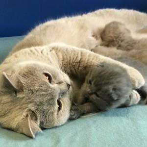 Британские голубые и лиловые котята 11.10.2020