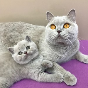 Британские котята - пушистое  чудо
