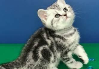 Британские мраморные котята 18.12.2020