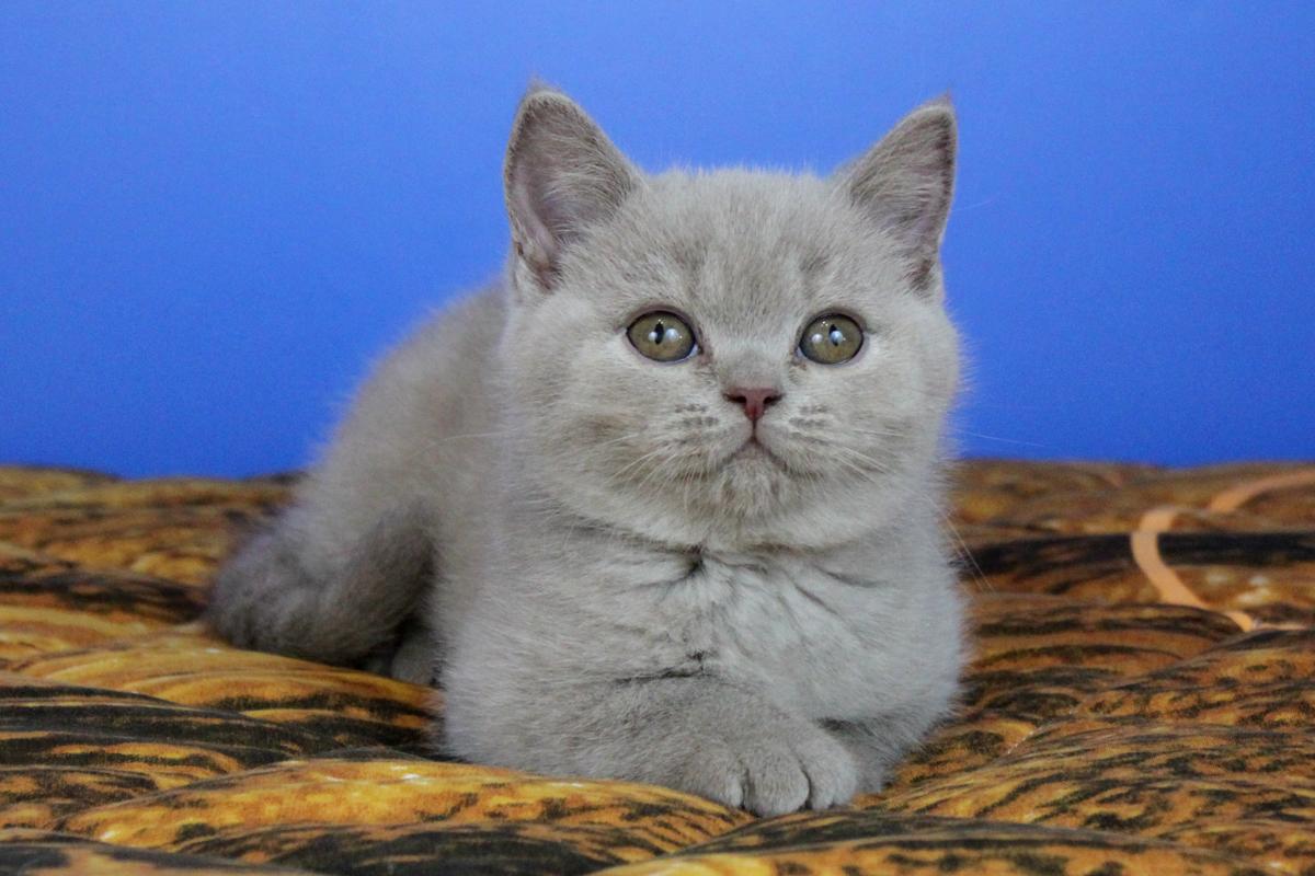 голубые котята