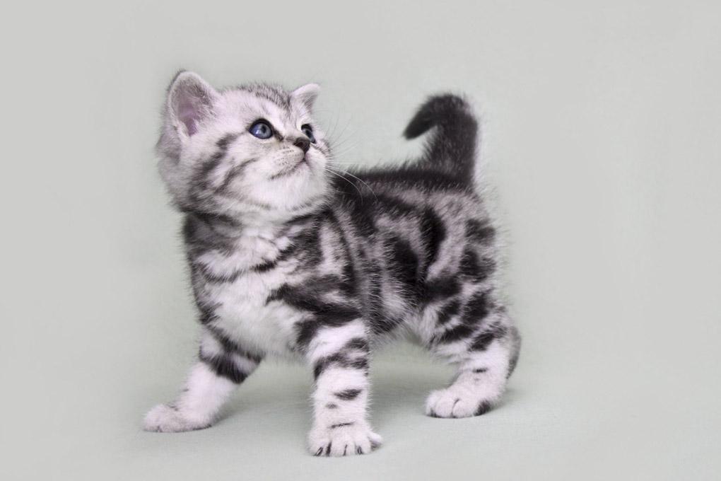 британские коты мрамор на серебре фото можете оставить