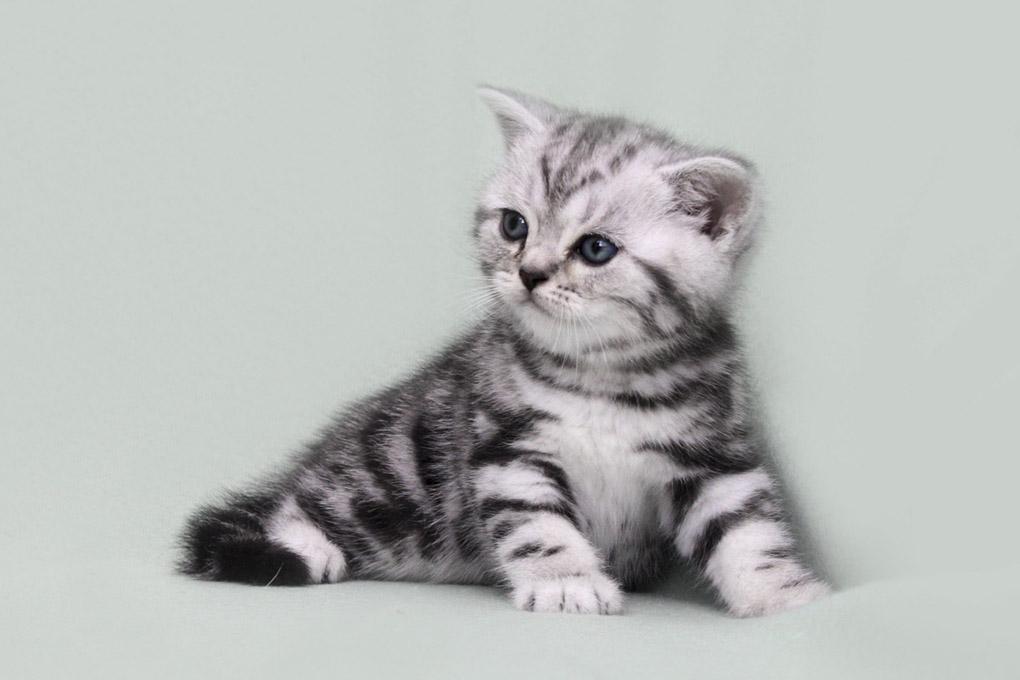 британские коты мрамор на серебре фото