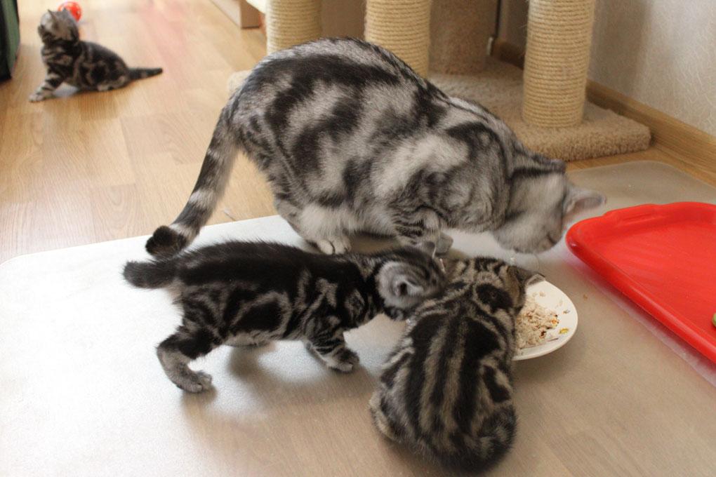 прикорм котенка
