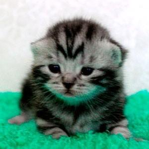 Британские котята второй недели жизни