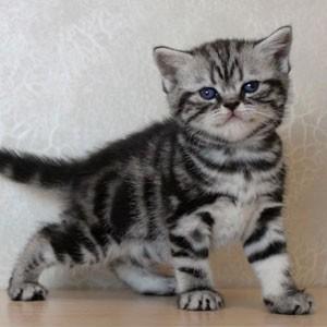 Британским котятам 1 месяц