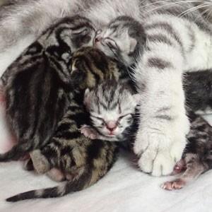 Британские мраморные котята 23.10.2018
