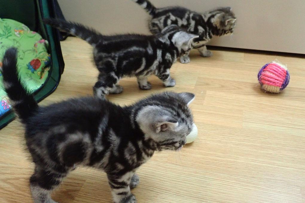 британские котята Kent Star