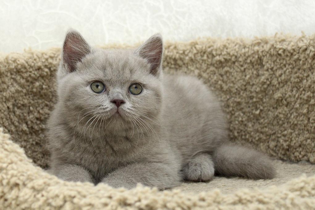Котята британских кошек фото