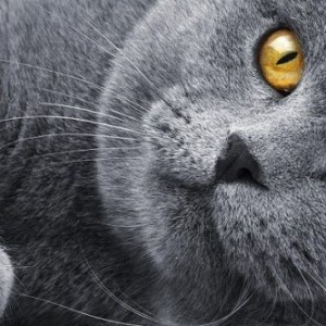 Британские кошки. История возникновения породы.