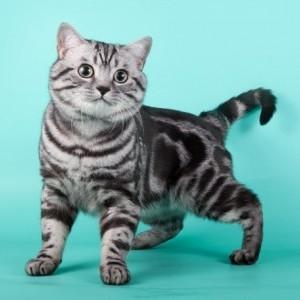 Окрасы британских кошек.