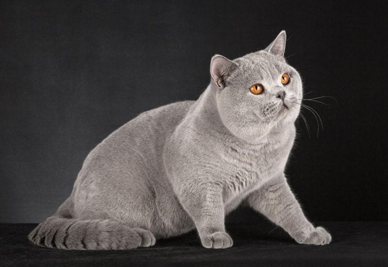 британский взрослый кот