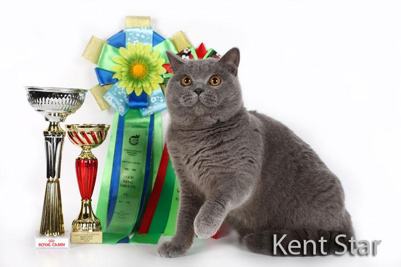 британская титулованная кошка
