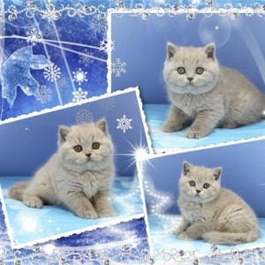 Британские котята родились 10.11.2016года