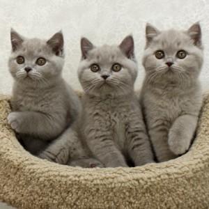 Британские котята - характерные отличия