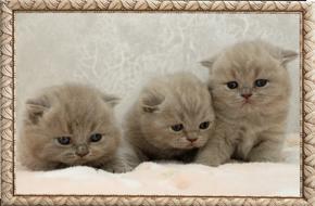 Лиловые британские котята Юниты