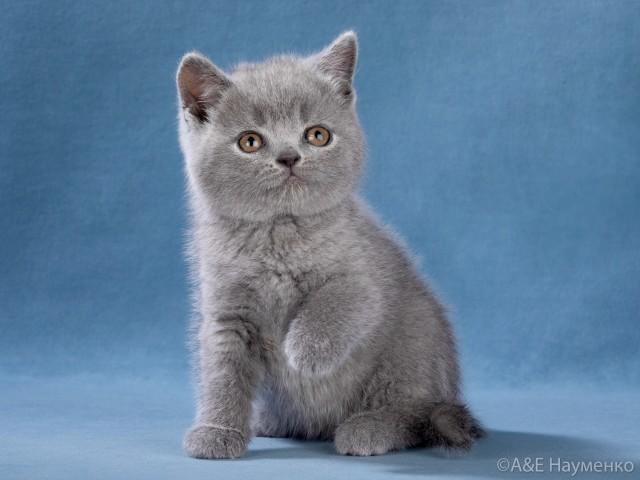 лиловый котенок