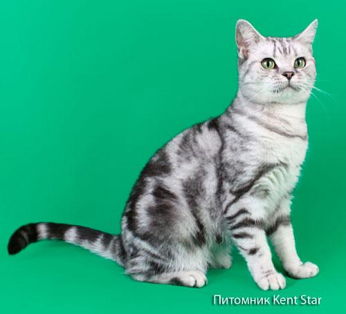 британская кошка Gryffindors Silver Wynona